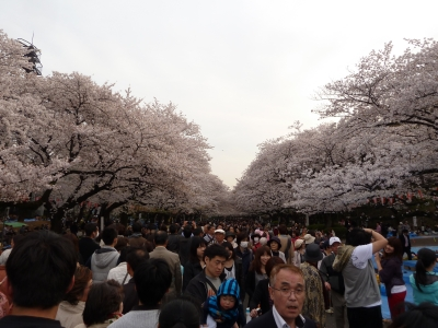 One of the most famous places to celebrate the cherry blossoms is in Ueno in Tokyo.  I went right at the peak of the season and enjoyed a walk under the trees.